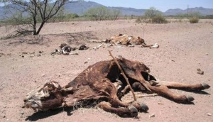 cattle-die from drought